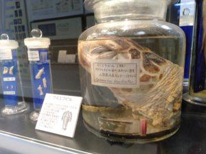 アオウミガメに寄生するウミエラビル